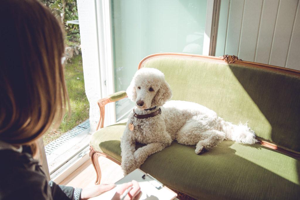 Harlekingrosspudel von oben fotografiert mit Augenkontakt zu der Blindenführhundeinstruktorin.